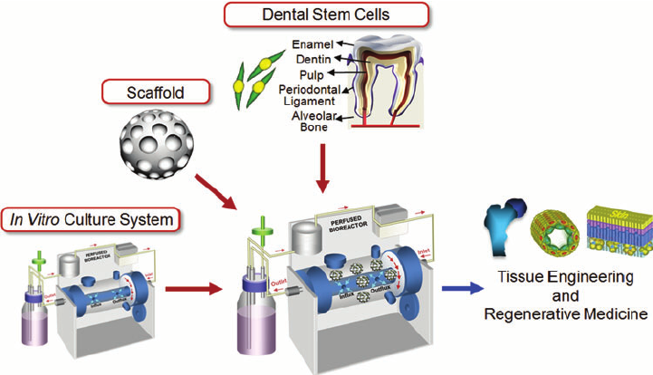 Image result for dentistry stem cells